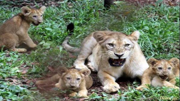 झोपड़ी के बाहर किसान के बच्चे ने गुर्राते देखे 2 शावक, उनसे खेलने लगा, तभी शेरनी आई और खा गई