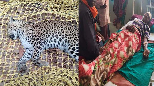 leopard dies in encounter with villager, After fight the man hospitalized