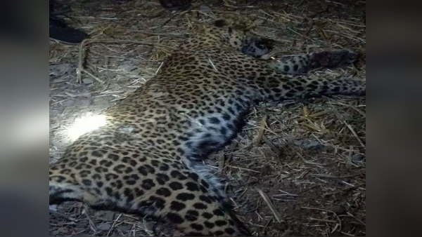 leopard dies in encounter with villager, After fight the man is hospitalized