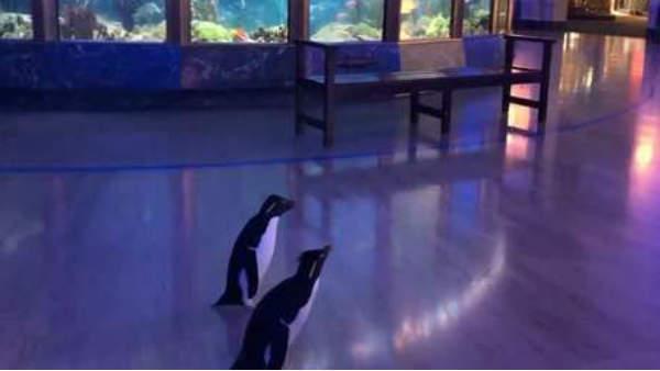 कोरोना वायरस के चलते लॉकडाउन के बीच शिकागो में टहलते दिखे पेंगुइन- Video वायरल