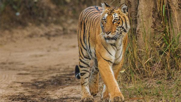 ये भी पढ़ें- अमेरिका में बाघ को कोरोना की पुष्टि, भारत में सभी चिड़ियाघरों को एडवाइजरी जारी