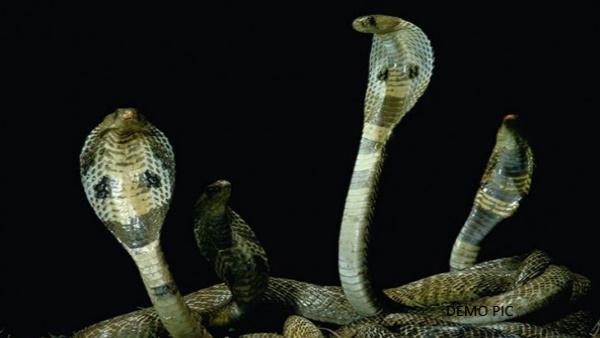 Cobra VIDEO : इस घर में 8 दिन से रोजाना निकल रहे कोबरा सांप, पूरी रात जागकर गुजार रहा परिवार