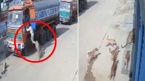 भूखे तेंदुए ने ट्रक ड्राइवर पर किया हमला तो आवारा कुत्तों ने संभाला मोर्चा, देखिए FIGHT का VIDEO