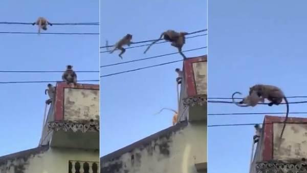 बिजली की तार पर फंसा बच्चा तो बिल्डिंग से कूद गई बंदरिया, वीडियो में देखें आगे क्या हुआ