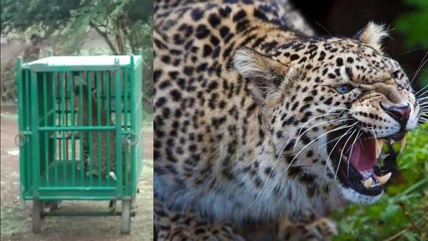 कई पशुओं को मार चुके तेंदुए से थी इलाके में दहशत, बहुत मुश्किल से वन विभाग ने पिंजरे में फंसाया