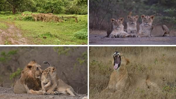 पीएम मोदी ने शेयर की 'बेहद अच्छी खबर', गीर वन में बढ़ी एशियाई शेरों की आबादी
