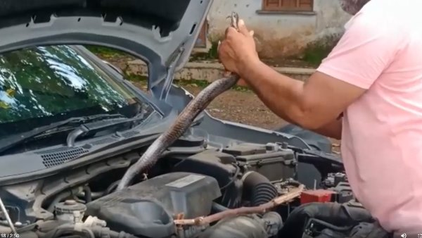 cobra snake rescued from car engine watch video