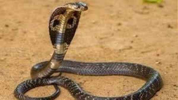 <strong>युवक ने गुस्से में आकर पेट्रोल पंप मालकिन के केबिन में छोड़ दिए 3 जहरीले कोबरा सांप और फिर...</strong>