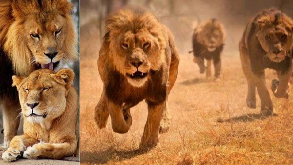 एशियाई शेरों का एकमात्र बसेरा है गुजरात, 8 किलोमीटर तक सुनाई देती है इनकी दहाड़, जानिए इनके बारे में सबकुछ