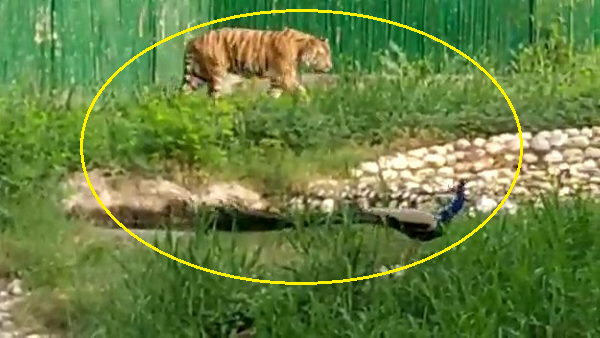 Watch: tiger and peacock walking together at delhi, video goes to viral