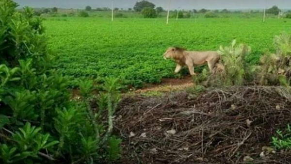 आंबरडी सफारी पार्क को बब्बर शेरों के प्रसिद्ध स्थल के रूप में विकसित करेगी गुजरात सरकार