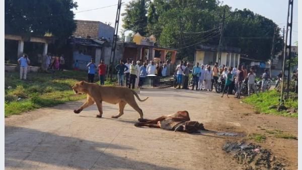 गांव में आकर शेरनी ने मार डाली गाय, फिर उसे बीच सड़क पर खाया, भीड़ 30 फीट दूर से देखती रही तमाशा