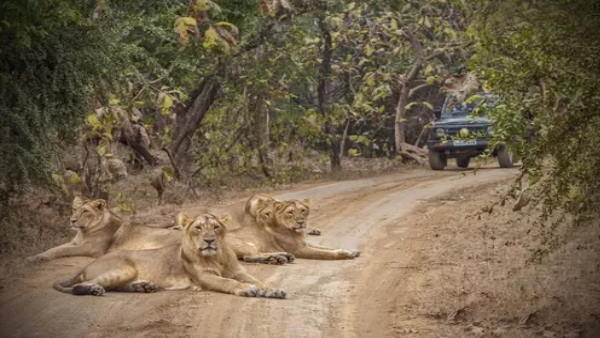 Gujarats Gir Forest Open, Flagged Off To Tourists for safari