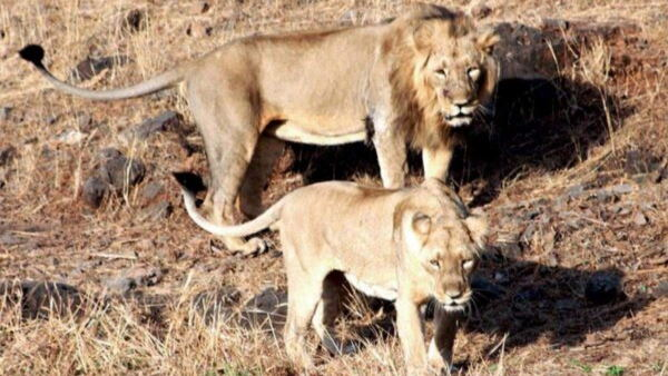 Asiatic lions have been brought in from naya raipur jungle safari park to Gujarats Surat