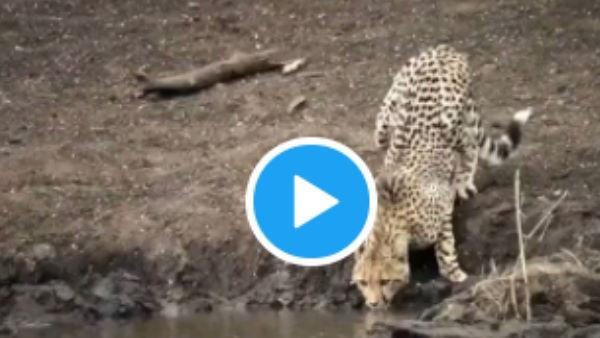 VIDEO:नदी में चीता पी रहा था पानी, तभी मगरमच्छ ने 27 सेकेंड में कर दिया काम तमाम