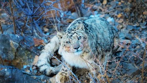 गंगोत्री नेशनल पार्क में दिखा भूरा भालू, स्नो तेंदुआ, ट्रैप कैमरों में कैद हुए कई दुर्लभ जानवर