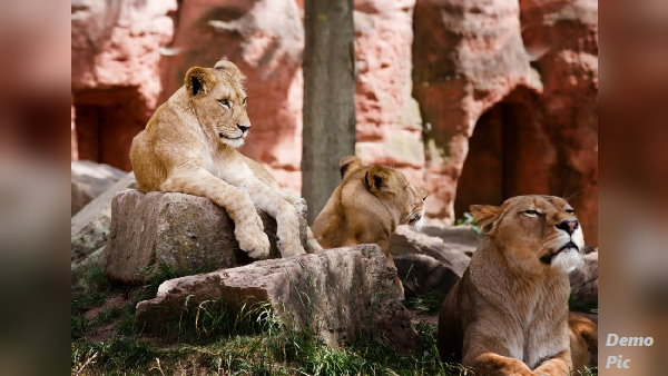 शेर की तिकड़ी आती थी गांवों में दुधारू पशुओं को खाने, महीनेभर बाद लोगों को यूं मिली तसल्ली