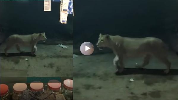 कुत्ते का पीछा करते-करते बाजार में घुस आई शेरनी, पान वाले ने बनाया वीडियो, हो गया वायरल