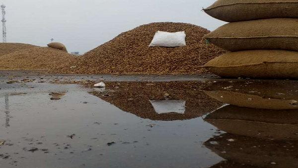 गुजरात में बेमौसम बारिशः मावठ की बूंदों से कपास, मक्का-मूंगफली के भंडार भीगे, हुआ बड़ा नुकसान