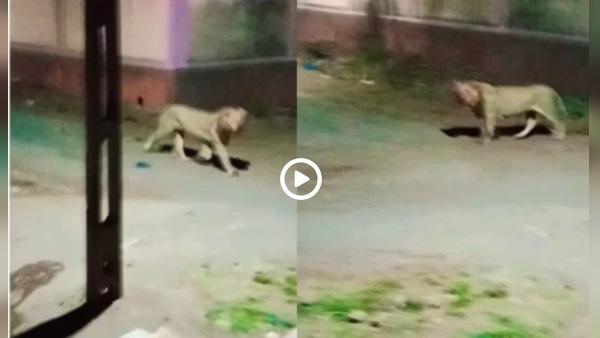 इसे भी पढ़ें- VIDEO: शेरों ने इंसानी बस्ती में ढूंढा शिकार, लोग बोले- ये रात को गांव आते हैं, पेट भरकर सुबह लौट जाते हैं