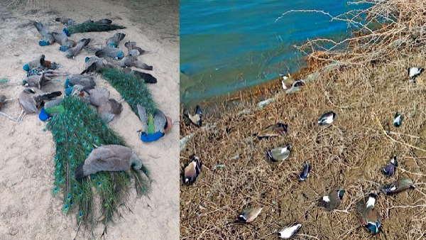 बर्ड फ्लू के खतरे के बीच गुजरात में 100 मुर्गियां, 10-10 कबूतर-टिटहरी और मोर मृत मिले