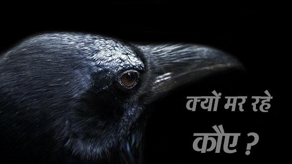 बर्ड फ्लू का खतरा: गुजरात में मृत मिले 40 कौए और बगुले, जांच के लिए भोपाल भेजे गए सैंपल