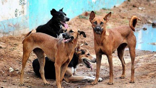 stray dogs maul minor girl to death in pilibhit