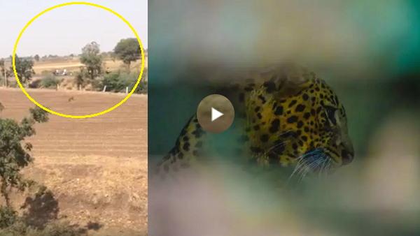 VIDEO: शेरों की तिकड़ी के बाद यहां तेंदुआ भी कर रहे पालतू पशुओं का शिकार, एक तेंदुए ने 6 कुत्ते मारे