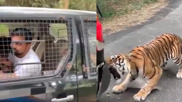 यात्रियों से भरी कार को बाघ ने जबड़े से पकड़कर पीछे खींचा, लोगों के छूटे पसीने...देखें Video