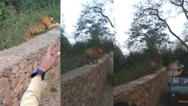 When Tiger arrives near tourist gypsy by climbing wall in Ranthambore Rajasthan