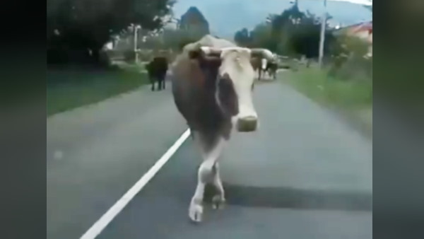 Cow Catwalk: वायरल हुआ गाय का शानदार कैटवॉक, वीडियो देख आप भी कहेंगे वाह!