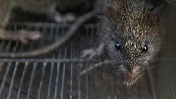 हरियाणा: किसान आंदोलन के दौरान जान गंवाने वाले बुजुर्ग की लाश को हॉस्पिटल में चूहों ने कुतरा
