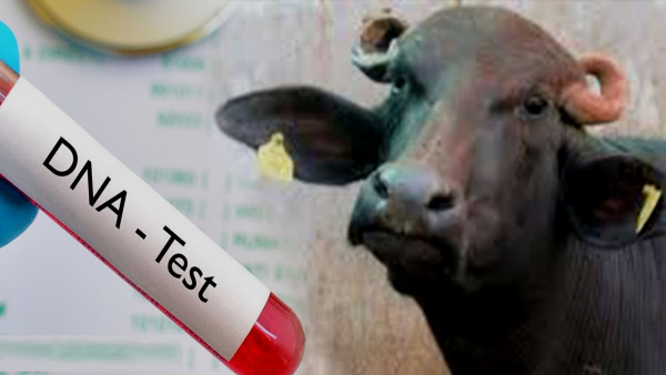 Rajasthan : भैंस किसकी? DNA टेस्ट से भी नहीं चला मालिक का पता तो नागौर पुलिस ने यूं सुलझाई पहेली