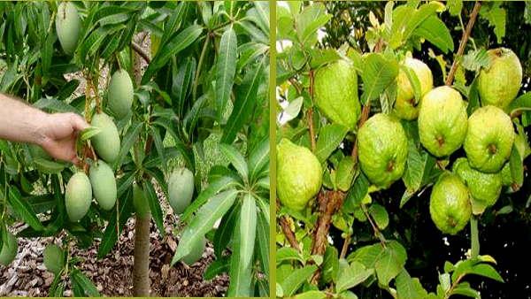 अमरूद-आम और इन फलों की खेती के लिए 20 हजार रुपए प्रति एकड़ सब्सिडी देगी हरियाणा सरकार