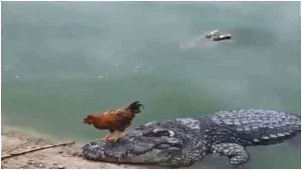 <strong>'मौत को छूकर टक से वापस आ गया मुर्गा', देखिए मगरमच्छ की सवारी कर रहे मुर्गे का मजेदार वीडियो</strong>