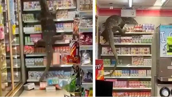 VIDEO: कोरोना महामारी के बीच थाईलैंड में दिखी नई आफत, सुपर मार्केट में घुसी 90 KG की 'भीमकाय' छिपकली