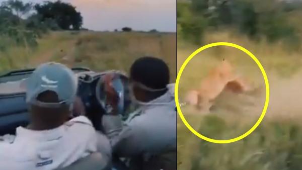 Video: हिरण पर बिजली की तेजी से झपटा शेर, खुली जीप में बैठे पर्यटकों की हुई हवा टाइट