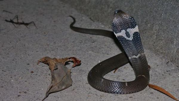 जब डीएम के चैंबर में निकला 3 फीट लंबा कोबरा सांप, जानें फिर क्या हुआ