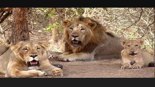 भारत में कोरोना की दूसरी लहर में जानवरों में फैला कोरोना, हैदराबाद चिड़ियाघर के 8 शेर कोविड पॉजिटिव