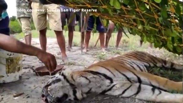 भावुक कर देने वाला Video... जब आखिरी सांस गिन रहे बाघ को फॉरेस्ट रेंजर ने बूंद-बूंद पिलाया पानी