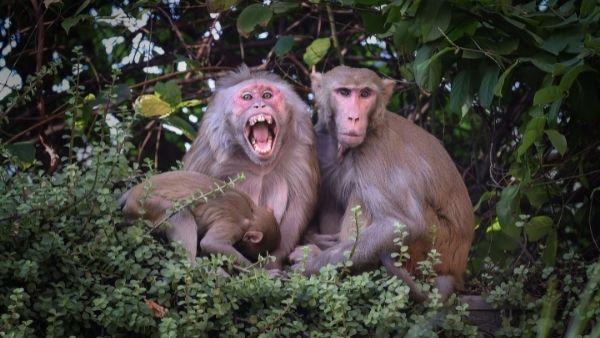 बंदरों को लेकर दिलचस्प रिसर्च, लड़ाई से बचने के लिए बदल लेते हैं बोलने का तरीका