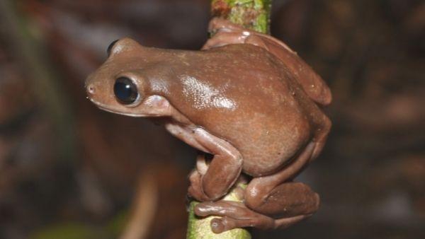 आश्चर्य: आस्ट्रेलियन वैज्ञानिकों ने दलदल में खोजा 'चॉकलेट मेढ़क', पेड़ पर बनाते हैं घर