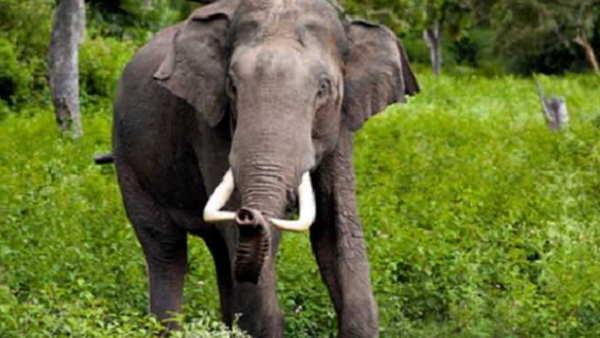 जंगली हाथी ने 16 ग्रामीणों को उतारा मौत के घाट, वन अधिकारी ने बताई ये खास वजह