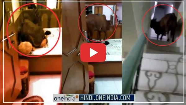 VIDEO : 3 मंजिला मकान पर चढ़कर रूम में बैड पर जा बैठा बैल, जानिए फिर 4 घंटे बाद नीचे कैसे उतरा?<br/>