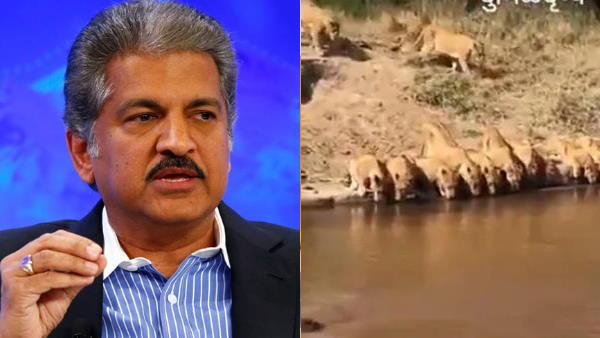 आनंद महिंद्रा ने नदी में पानी पीते शेरों का वीडियो किया शेयर, पूछा ये दिलचस्प सवाल