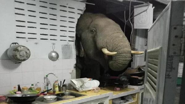 पापी पेट का सवाल है साहब! भूख मिटाने के लिए हाथी ने किचन में लगाई सेंध, फिर हुआ ये