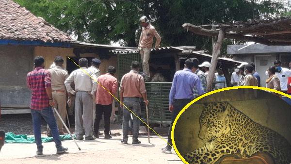 घर में घुस गया तेंदुआ, लोग कुंदी लगाकर दुबके, 7 घंटे की मशक्कत के बाद रेस्क्यू टीम ने किया काबू