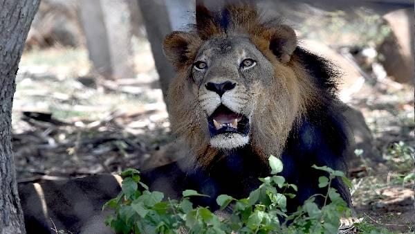 चेन्नई Zoo में कोरोना का कहर, एक महीने में दूसरे शेर की मौत