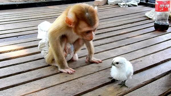 Video: चूजे को Kiss करता हुआ कैमरे में कैद हुआ बंदर का बच्चा, वायरल हुआ वीडियो