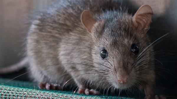चीन ने पार की नीचता की सारी हदें, नर चूहों से अमानवीय तरीके से पैदा करवाया बच्चा